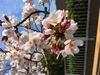 満開の桜のアップ