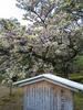 兼六園 菊桜の画像